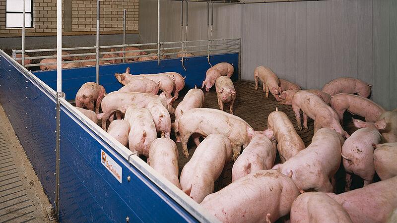 Schweinemaststall mit Flüssigfütterung HydroMix